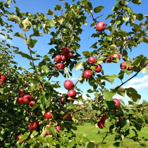 Apples in Vermont
