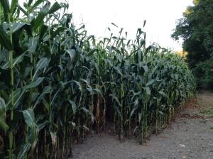I swear this corn is 10 feet tall.