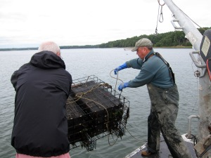 returning about 2,400 developing oysters to their underwater nest