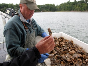 oyster inspection - this one's a keeper