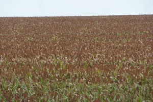 This is sorghum! I have wanted to see this plant for decades. No GMO, Liz)