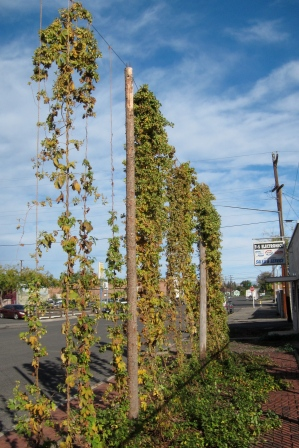 Hops grows tall