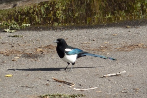 A magpie: Heckle or Jeckle?