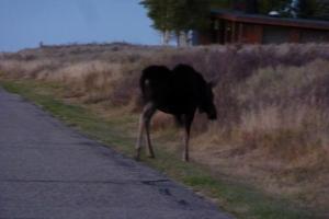 John Muir Moose, heading home to his mountaintop estate.