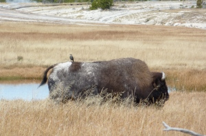 A bit of wildlife symbiosis. The bird eats bugs off the bison's back and gets a free ride.