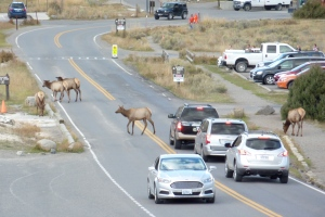 Why does an elk cross the road? To get to Mammoth Springs.